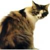 Kedilerin İdrar Yolları Hastalığı ve Homeopatik Remedileri